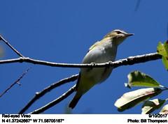 Red-eyed Vireo (Bill.Thompson) Tags: redeyedvireo vireoolivaceus bog ri birds