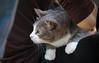 IMG_2413 (kz1000ps) Tags: boston massachusetts bostoncommon common park cats kitties kittens felines caturday purr catcafe brighton humane society adoptions oscarthewilde
