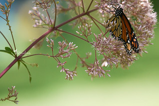 Late Summer Monarch