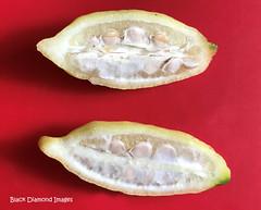 Citrus inodora - Russell River Lime (Black Diamond Images) Tags: citrus citrusinodora russellriverlime rutaceae arfp qrfp tropicalarf lowlandarf understoreyarfp arfbtp rnrfgdbarfp rnrfgdb australianrainforestplants arffs whitearffs appleiphone7plus iphone7plus