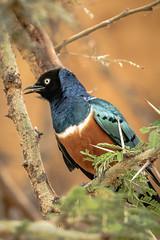 SUPERB STARLING (dmberman1) Tags: ngorongorocoservationarea eastafrica wildlife birds africasafari ngorongorocrater animals superbstarling tanzania birdsofprey raptor