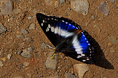 Mimathyma ambica - the Indian Purple Emperor (male) (BugsAlive) Tags: butterfly mariposa papillon farfalla schmetterling бабочка conbướm ผีเสื้อ animal outdoor insects insect lepidoptera macro nature nymphalidae mimathymaambica indianpurpleemperor apaturinae wildlife chiangdaons chiangmai liveinsects thailand thailandbutterflies ผีเสื้อเจ้าชายม่วง เชียงดาว เชียงใหม่