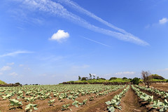 Farming Yard at Jeju Island (Johnnie Shene Photography) Tags: farm farming yard field farmland vegetable lowangle sky skyline bluesky clouds cloudscape day daylight hangar garage nature plants growing wideangle korea jeju island summer airplane aircraft plane tranquility peace journey travel destination landmark local regional region calm photography horizontal outdoor colourimage fragility freshness nopeople foregroundfocus adjustment interesting awe wonder cool refreshment relaxation restinghours comfort horizon agricultural famous rove freedom liberty canon eos80d 80d sigma 1770mm f284 dc macro lens 격납고 제주 풍경 농촌