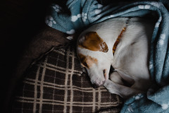 have a rest   l   2017 (weddelbrooklyn) Tags: dog powernapping animal animals pet pets home tired dogtired d5200 nikon hund hunde mittagschlaf tier tiere haustier haustiere zuhause müde hundemüde