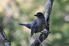 Gray Catbird  (Explored-My thanks to all) (outdoorpict (Traveling west for a while)) Tags: songbird meow gray rufous mohawk branches curious deltalakepark fall sunny perky nosey