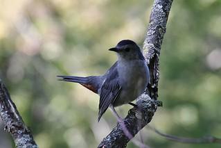 Gray Catbird  (Explored-My thanks to all)