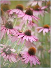 (melolou) Tags: nature flowers pink echinacee echinacea