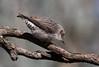 Varied Sittella. Daphoenositta chrysoptera-5857 (rawshorty) Tags: rawshorty birds australia act canberra campbell