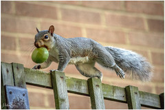 Dave the Grey Squirrel (mattpacker1978) Tags: grey squirrel nuts home garden animal wild wildlife nature fence walking hungry canon canonic canondslr canon700d canondigital canonphotography fun
