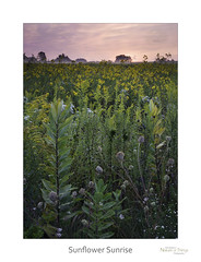 Sunflower Sunrise (baldwinm16) Tags: dupagecounty il illinois september autumn calm environment fall habitat midwest native naturepreserve prairie prairiegrass prairielandscape prairieplants quiet season serene soothing sunrise tranquil wildflowers