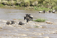 Migracao GNU - Travessia do Rio Mara 21 (Joao Pena Rebelo) Tags: tanzania gnus wildebeest migration safari serengeti wildebeests marariver