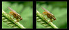 Life Is Golden 3  - Crosseye 3D (DarkOnus) Tags: life golden dung fly pennsylvania buckscounty panasonic lumix dmcfz35 3d stereogram stereography stereo darkonus closeup macro insect flydayfriday day friday hfdf fdf crossview crosseye scathophaga stercoraria