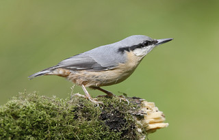 NUTHATCH ....Powys....Look on large for more detail.
