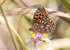 Zerene Fritillary (sbuckinghamnj) Tags: wyoming grandteton grandtetonnationalpark nationalpark wildlife butterfly fritillary zerenefritillary lepidoptera insect