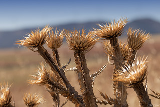 Thistle@Andalusia