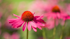 Me and My Shadow (paulapics2) Tags: echinacea coneflower fleur flora floral blümen garden nature plant pink bokeh depthoffield rhshydehallgardens hydehall canoneos5dmarkiii sigma105mmf28exdgoshsmmacro petals