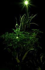 _MG_1897.CR2 (jalexartis) Tags: sansevieriatrifasciata motherinlaw'stongue citronella afterdark dark nightphotography night nightshots camranger lighting gardening cedarfarms