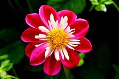 "Dahlia ISAC Collerette (jdathebowler Thanks for 1.3 Million + views.) Tags: dahlia isaccollerette flower colour vivid nature plant gardenflower coth alittlebeauty coth5 sunrays5 ""doublefantasy"""
