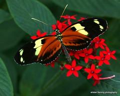 IMG_5989 (marinbiker 1961) Tags: butterfly colour indoors standrews scotland 2017 plants botanicgardens closeup flower macro