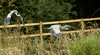 Territorial Heron... (petegatehouse) Tags: heron herons inflight thechase chasing territorial aggressive birds largebirds