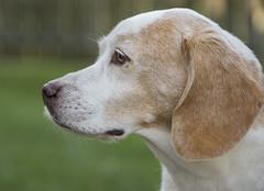 Buddy (shannon_blueswf) Tags: beagle bestfriend dog canine birthday birthdayboy beagles hound hounddog nikon nikond3300 nikonphotography pet petphotography petportrait beaglepuppy portrait