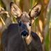 Junger Reh Bock 2/3 (Capreolus capreolus) (Explored) (Silu Junior) Tags: wildlife nature natur tier animal nikon sigma reh