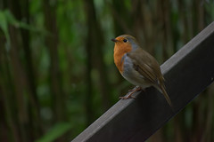 Red Robin (Oliver MK) Tags: red robin bird animal portishead uk bristol woods woodland battery point somerset north south west england british erithacus rubecula redbreast fence perch forest nature photography european amateur nikon d5500 closeup outside travel
