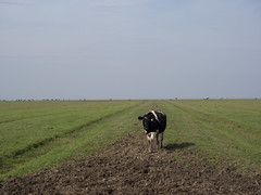 (Jeroen Hillenga) Tags: koe cow dollard dollart kwelder ostfriesland deutschland duitsland lowersaxon niedersaksen landscape landschap