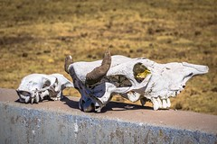 There seems to be many animal remains along the road edges in these parts.