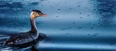 young grebe (jeff.white18) Tags: crestedgreb grebe water langford lakes rain portrait