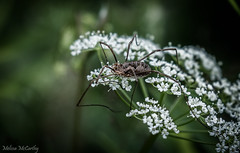 Harvestman (Melissa M McCarthy) Tags: spider bug insect longlegs brown large creepy onflower dark darktone macro telephoto nature outdoor stjohns newfoundland canon7dmarkii canon100400isii harvestman arachnid