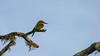 Bruinkopbijeneter-20040117-J0401-3418 (dirkvanmourik) Tags: birdsofsrilanka bruinkopbijeneter bundalanp chestnutheadedbeeeater hambantota meropsleschenaulti southernprovince srilanka bird