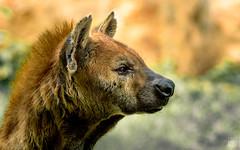 Spotted Hyena - Hiena Manchada (Andres Rodriguez FOTOGRAFÍA) Tags: animals safari zoo zoológico hiena hyaenidae carnivorous mammals hiénidos feliformia chordata animalia crocuta hyena spotted laughing animal mamífero carnívoro aire libre ngc