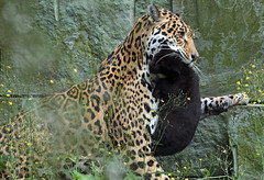 jaguar Rica and cub artis BB2A4678 (j.a.kok) Tags: jaguar pantheraonca rica cub jaguarcub artis mammal animal cat kat zoogdier dier zuidamerika southamerica
