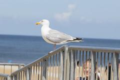 Seagull (Photography by Martijn Aalbers) Tags: seagull meeuw zeemeeuw möwe mouette gabbiano gaviota scheveningen denhaag sgravenhage 070 beach strand sea zee canoneos77d ef70200mmf4lisusm candid wwwgevoeligeplatennl