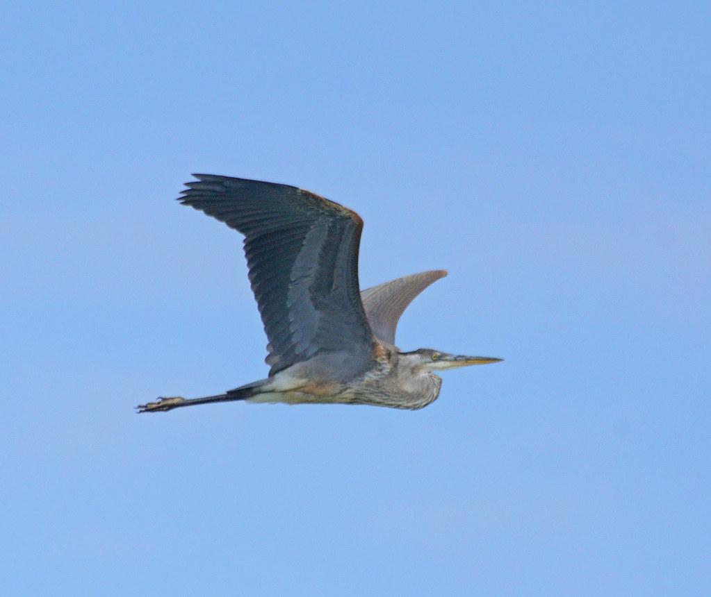 Indiana lake county highland - Great Blue Heron Flight Michael Topp Tags Great Blue Heron Michael Topp Highland