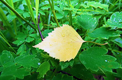 Fallen. Yellow on green (AzIbiss) Tags: leaf birch betula fallen yellow grass green summer bright contrast meadowrue thalictrum betulaceae ranunculaceae canon canondigital canonphotography canonsx50 powershot sx50 hyperzoom outdoor amateur macro closeup tomsk westernsiberia russia siberia excursion thalictrumminus