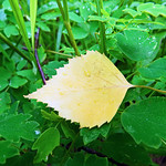 Fallen. Yellow on green thumbnail