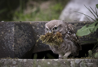 Little Owl_MG_5247