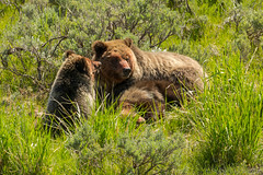 Family gathering (ChicagoBob46) Tags: grizz grizzly grizzlybear bear cub cubs yearling yellowstone yellowstonenationalpark nature wildlife coth5 ngc npc