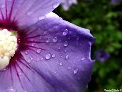 Purple rain (Noemie.C Photo) Tags: purple violet pluie rain gouttes drops droplets goutelettes fleur flower plant plante vegetable vegetation petales petals nture nature colorful couleurs colors details specifics macro
