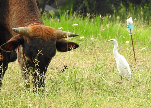 Bull & Cattle Egret Outside Hua Hin -Thailand