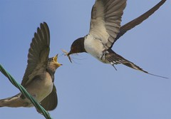 Swallow (Ian Mc Farlane) Tags: swallow chainbridge northumberland feeding chick bird