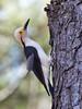 White Woodpecker (Melanerpes candidus) - male