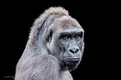 Western Lowland Gorilla (Linda Martin Photography) Tags: westernlowlandgorilla usa oriana neworleans animals louisiana gorillagorillagorilla po audubon zoo coth ngc alittlebeauty coth5 npc sunrays5