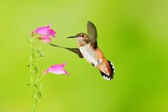 Rufous Hummingbird (0862) (Bob Walker (NM)) Tags: bird setup hummingbird rufoushummingbird selasphorusrufus ruhu multiflash whiterock newmexico usa
