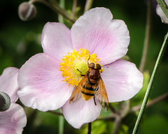 Volucella zonaria (f) (mickmassie) Tags: diptera gardentq209783 insecta syrphidae