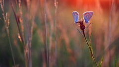 The kiss for the flower (ej - photography) Tags: butterfly schmetterling nature summer sommer 2017 olympus omd em5markii mzuiko schweiz switzerland natur macro makro sunset colorful abend abendrot evening bokeh wiese meadow backlight butterflies