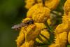 Episyrphus balteatus (jan lyngby) Tags: episyrphusbalteatus august2017 2017 lillesø lillevildmose dobbeltbåndetsvirreflue