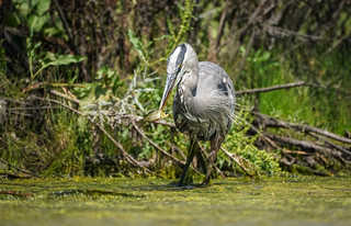 Lunch - Great Blue Heron
